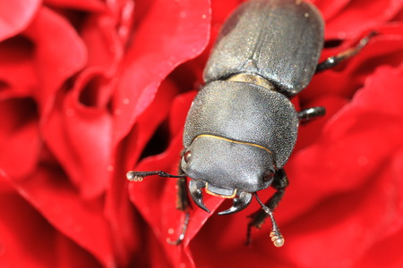 Lesser stag beetle Dorcus parallelipipedus on peony flowers. Macro Stock Photo