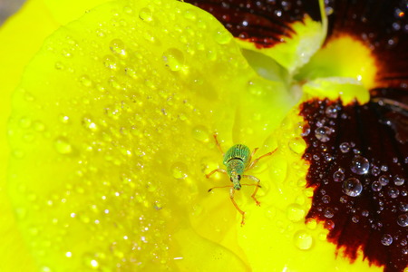 phyllobius: Green bug sits on heartsease Green Immigrant Weevil