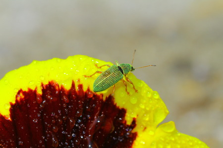 weevils: Green bug sits on heartsease Green Immigrant Weevil