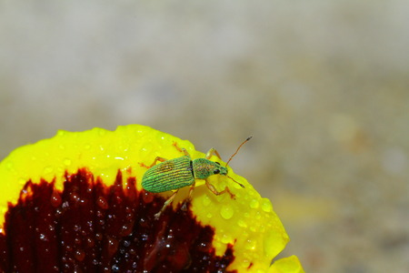 Green bug sits on heartsease Green Immigrant Weevil photo