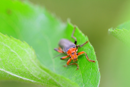 cantharis: Cantharis fusca soldier beetle macro. Stock Photo