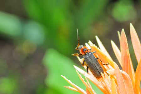 Cantharis fusca soldier beetle macro. Stock Photo