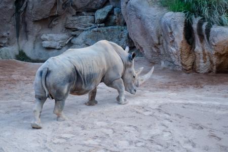 big rhinoceros on the sand in the biopark in Valencia, Spain photo