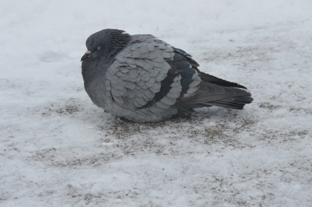 Grey Pigeon on the Snow photo