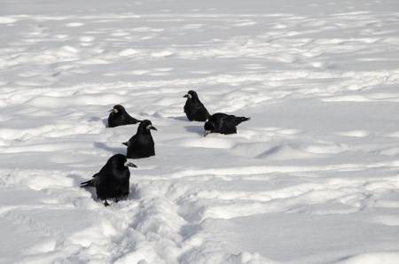 Five Crows on the White Snow photo