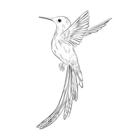Ilustración de colibri dibujado a mano. Dibujo de colibrí sobre fondo blanco. Ilustración tropical lindo pájaro pequeño. Animales exóticos.