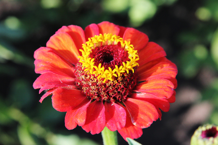 Zinnia elegans. Red beautiful flower in the rural garden on the green background on a sunny day