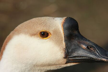 The eye of the goose. The goose head. Closeup. The background out of focus. A sunny day in the village Banco de Imagens