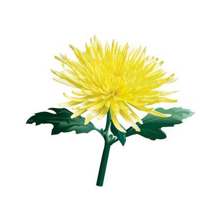 The yellow chrysanthemum. The golden-daisy. Isolated.