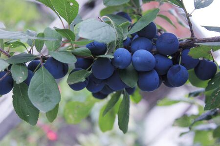 Prunus spinosa. The branch of the blue plums. The sloe is growing in the rural garden. The blackthorn on the branch. Organic orchard