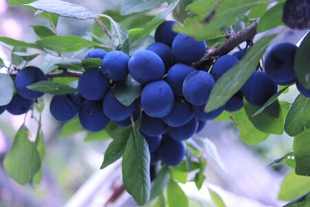 The blackthorn is ripening in the garden. The branch of the blue plums. Prunus spinosa. The summer in the village. Organic sweet fruits
