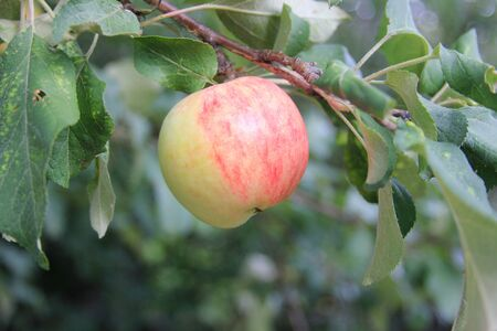 A ripe juicy red-green apple on a branch in organic orchard. New harvest in a rural garden