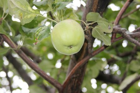 The  beautiful clean green apple is ripening on the branch of the apple tree. Closeup. The new harvest Banco de Imagens