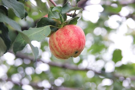 Red-green apple damaged by a worm on a branch. Summer garden. Organic apples.