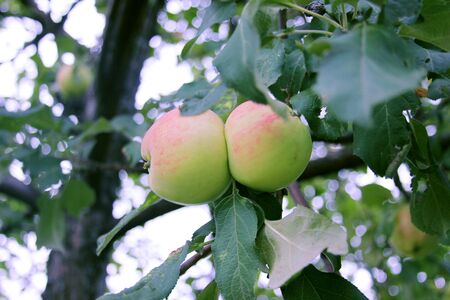 Red-green apples in organic orchard. Twins on a branch in a summer rural garden