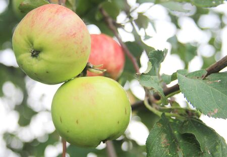 Red-green apples on a tree in rural orchard. The new organic harvest is ripening
