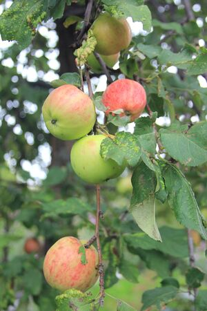 Ripe juicy red-green apples on a branch in a rural garden. The new harvest of the fruits Banco de Imagens