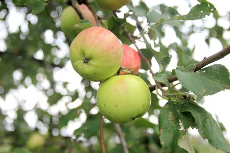 Ripe juicy red-green apples on a branch in a summer garden. The new organic harvest Banco de Imagens
