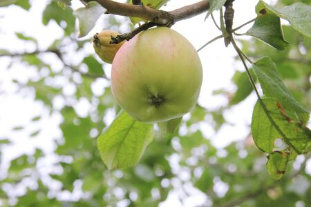 Healthy and sick apple on one branch. Strong and weak. Season fruit 写真素材