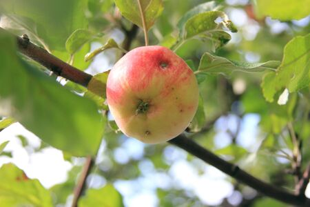 Ripe juicy apple damaged by a worm on a branch. Organic orchard. Season of the harvest