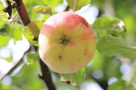 Ripe juicy apple damaged by a worm on a branch. Organic season fruit on the tree