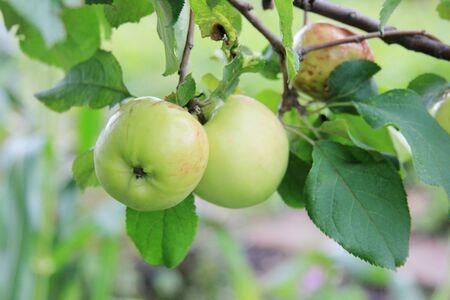 Green apple on the branch tree. Season fruit in organic orchard Banco de Imagens