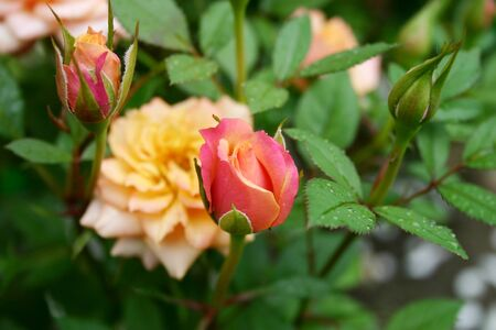 a beautiful rose buds on a green leaves background. The bush of the charming roses after rain Stok Fotoğraf