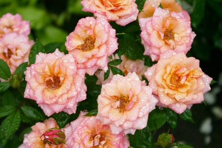 A bush of a pink roses in the summer garden. An adorable bouquet of a beautiful roses