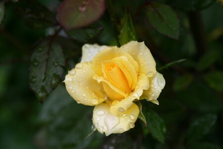 one delightful yellow rose after rain on the wet green leaves background in the garden