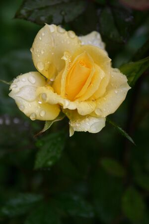 charming yellow rose after rain on the green leaves background. The bush in the home garden Banco de Imagens