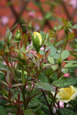A Beautiful bud of yellow rose after rain in the garden Banco de Imagens
