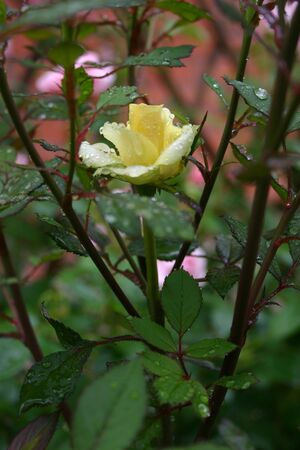 One adorable yellow rose in the garden after rain. The bush hybrid roses