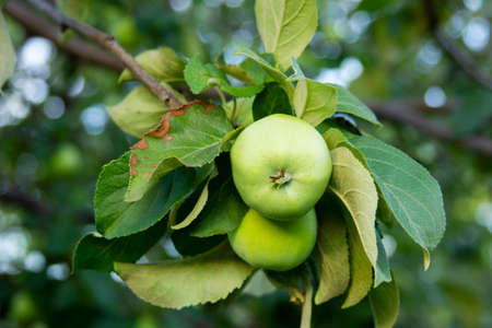 Green apples on the branch. Anthracnose on the leaf. Diseases of the apple tree. New harvest in the orchard. Two healthy fruits are ripening in the garden Stockfoto