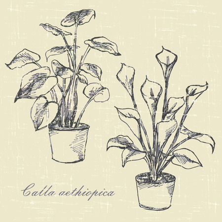 calla lilies, flowers in pots, hand drawn sketches   Vector