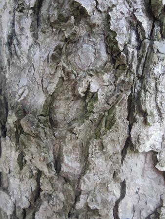 poplar: background made of poplar bark. vector illustration