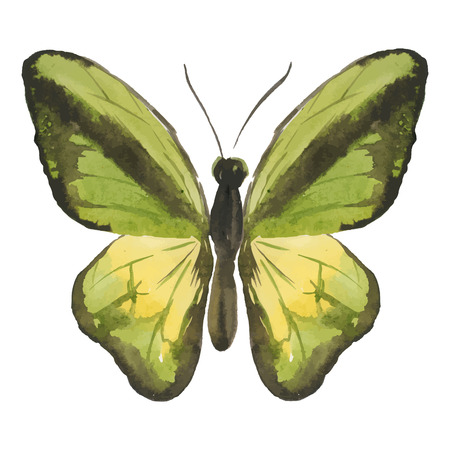 butterfly isolated: watercolor hand drawn butterfly isolated on white background. vector illustration