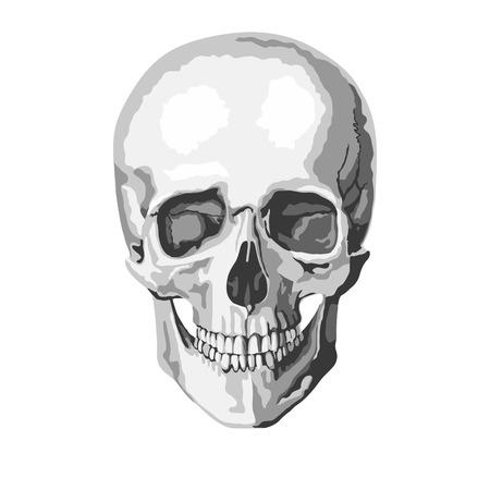 human jaw bone: human skull. vector illustration
