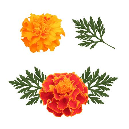 흰색 배경에 고립 된 marigolds 장식, 멕시코 휴가의 상징에 대 한 꽃 죽은 및 인도 행복 Divali의 날입니다. 벡터 일러스트 레이 션. 일러스트