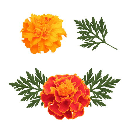 Marigolds isolated on white background, flowers for decorate, symbol of mexican holiday Day of dead and Indian Happy Divali. Vector illustration.