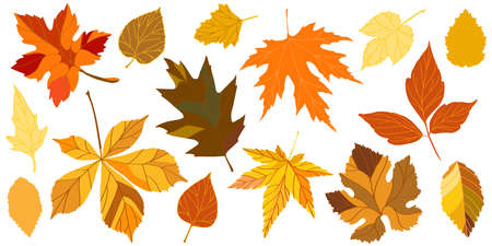 Falling beech, oak, elm, chestnut and maple autumn leaves for design of the seasonal holiday greeting card. Set of the autumn leaves. Vector illustration.  イラスト・ベクター素材