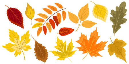 Autumn leaves collection isolated on white background. Set of falling leaves of the different trees for design of the autumn greeting card. Vector illustration.
