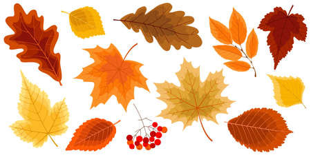 Autumn collection of the leaves. Set of the design elements for autumn decoration. Vector illustration.