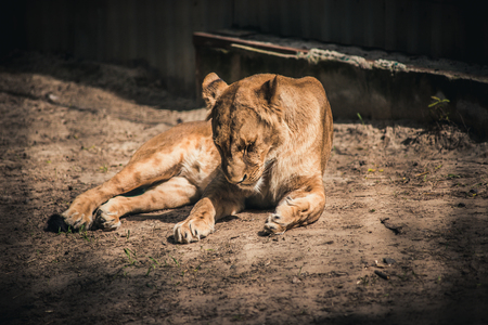 sad lion in a cage Stock Photo