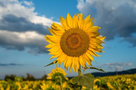 Field of sunflowers. 写真素材