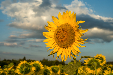 Field of sunflowers. Stockfoto