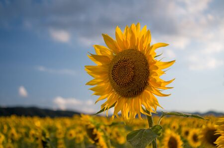 Field of sunflowers. Sunflowers flowers. Landscape from a sunflower farm. A field of sunflowers high in the mountain. Produce environmentally friendly, natural sunflower oil