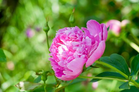 Flowers of pink peony in the home garden.  Pink images of peony with green backdrop. 写真素材