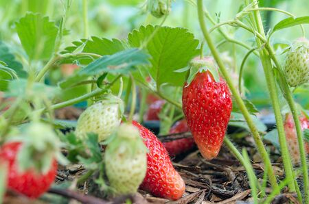 Strawberries. Natural, organic strawberries with green leaves sprouting in a home strawberry garden. Natural green background. Agriculture, bio healthy food. Near a strawberry plant in the garden. 写真素材