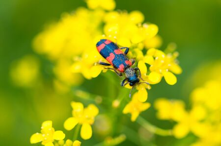 Close-up of a red bug on the petals of yellow flowers. Macro photography insect. Spring Creatures.