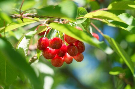 Ripe red cherries of the tree. Sweet cherries on a branch just before harvest in early summer. Delicious juicy cherries hanging in the tree.
